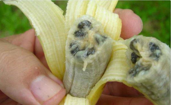 19062017: Riusciremo a debellare l'estinzione delle banane?